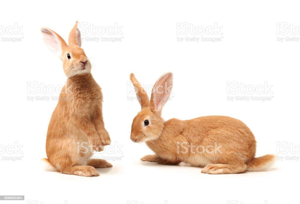 Rabbit   Isolated on White Background stock photo