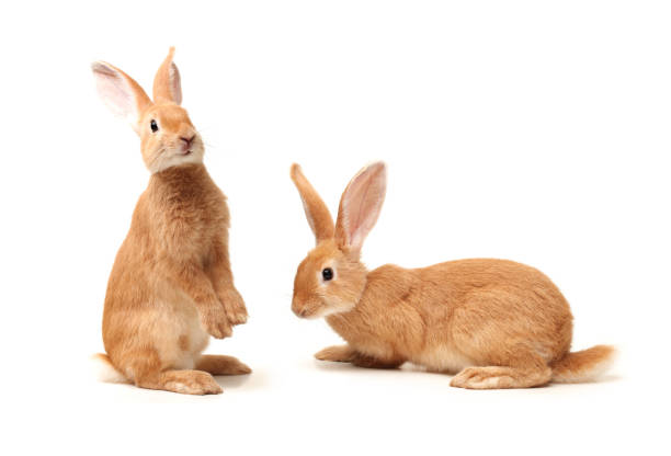 rabbit   isolated on white background - rabbit stock photos and pictures