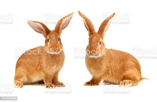 Rabbit isolated on white background picture id912062686?b=1&k=6&m=912062686&s=612x612&h=vkbxfuwukfefb q73bfx26sl wiqsr5johvdoahpycc=