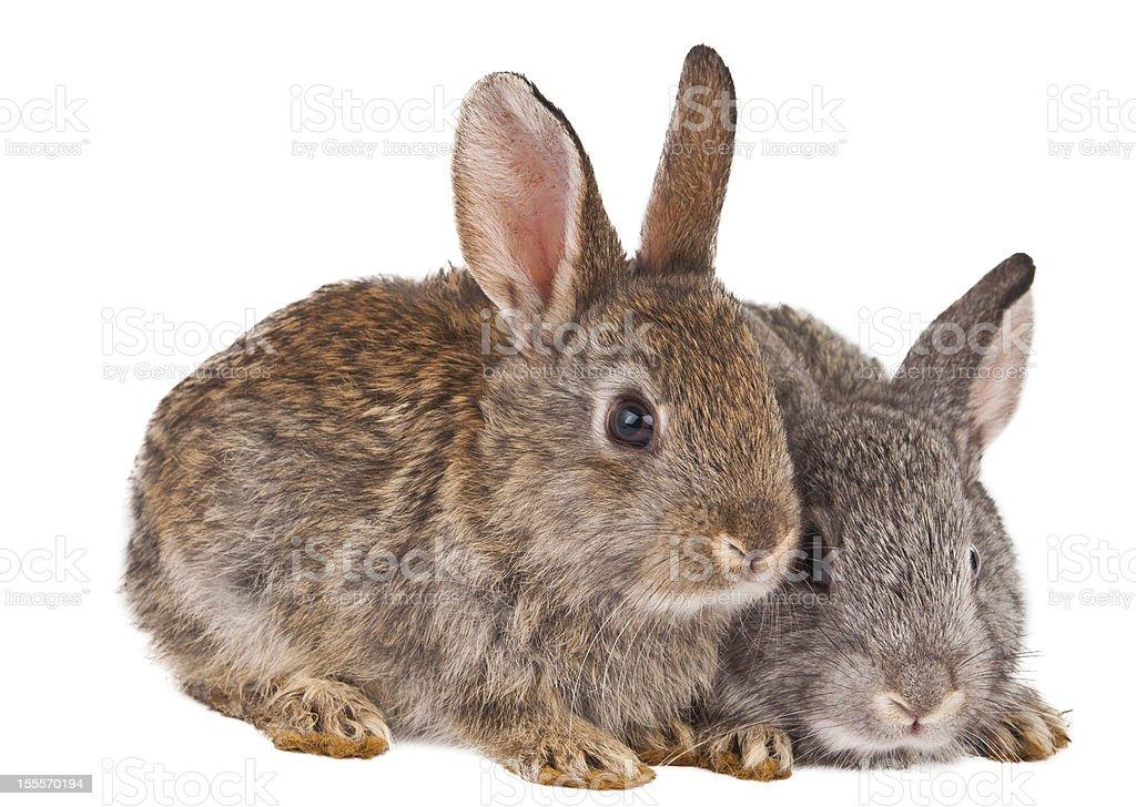 rabbit isolated royalty-free stock photo