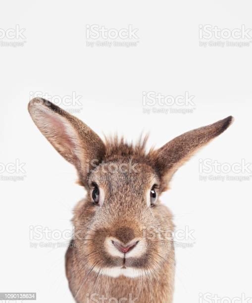 Rabbit long ears picture id1090138634?b=1&k=6&m=1090138634&s=612x612&h=kizpzu2huhdpihpxsv9k4 mt1smp8oki rtpystlad0=