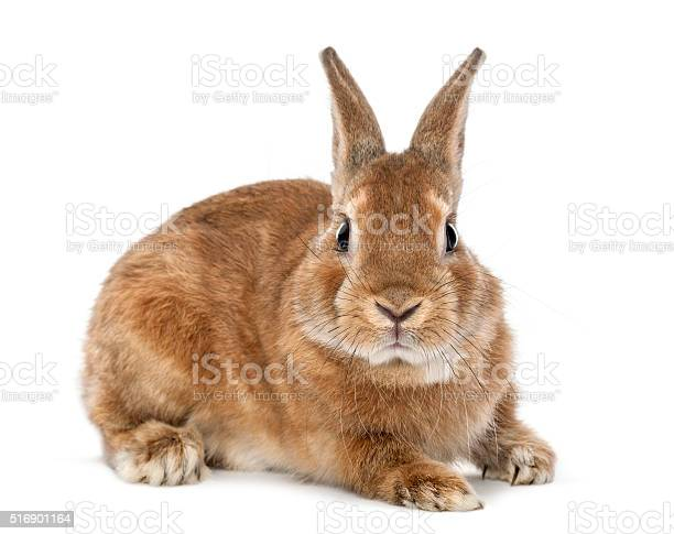 Rabbit lying and looking at camera against white background picture id516901164?b=1&k=6&m=516901164&s=612x612&h=nh3x8boqjjxr 5ssrrbvyco pmdrc1qatnfyjxynxxe=