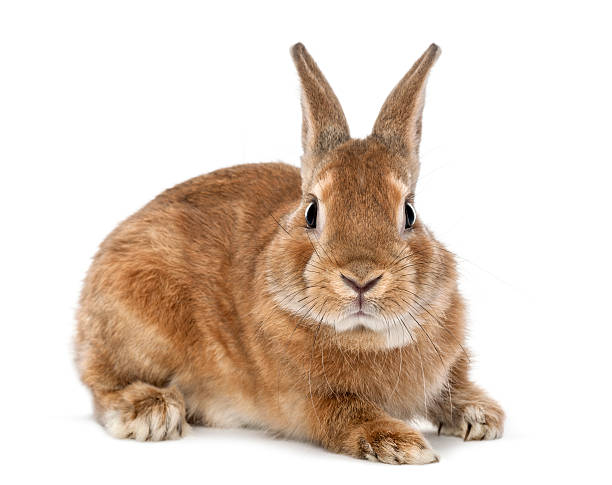 rabbit lying and looking at camera against white background - rabbit stock photos and pictures