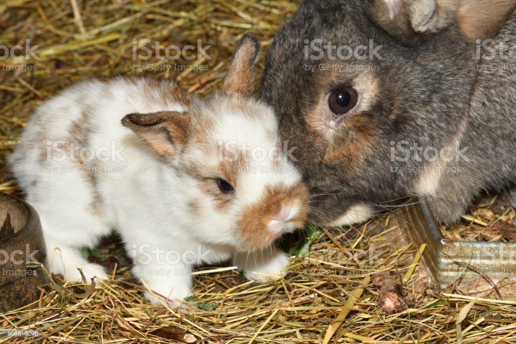 Kaninchen Murmeln und wenig Bunie Cutie um sein Heu Nest beobachten hautnah Porträt - Lizenzfrei Agrarbetrieb Stock-Foto