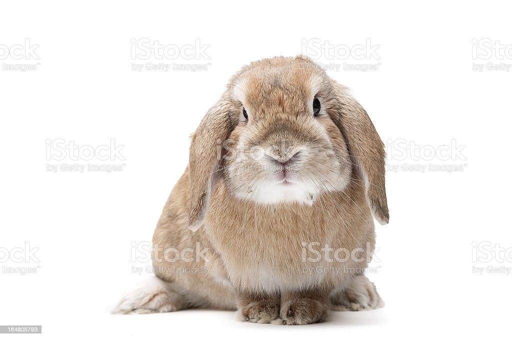Rabbit on a white background stock photo