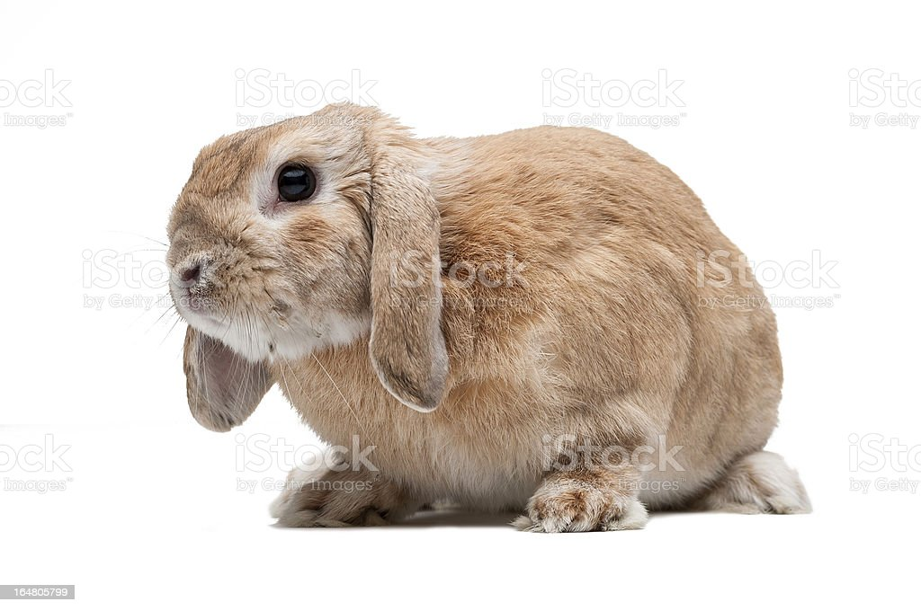 Rabbit on a white background royalty-free stock photo