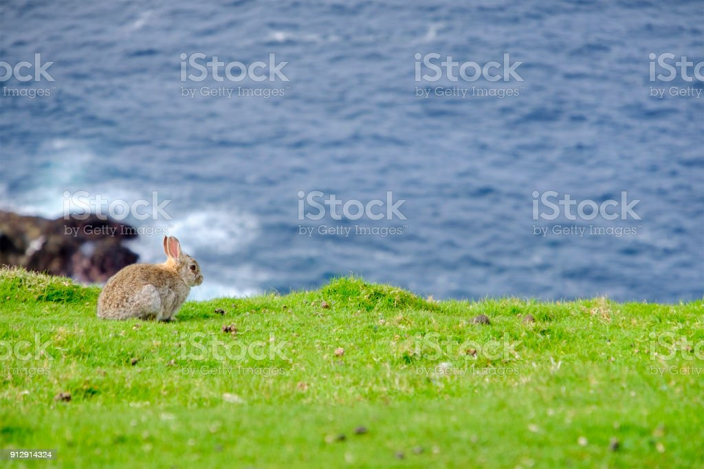 Rabbit on the cliffs at the Hermaness National Nature Reserve, a dramatic cliff-top setting of Unst, Shetland Islands, Scotland. stock photo