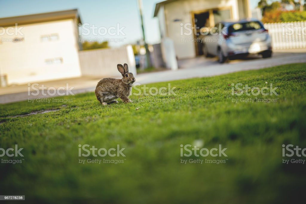 A rabbit on the frontyard lawn, Tasmania stock photo