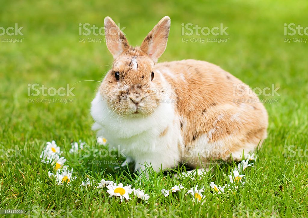 Rabbit on the grass royalty-free stock photo