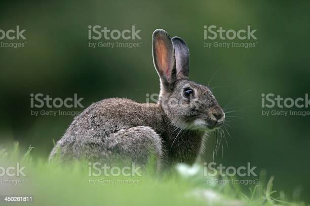 Rabbit oryctolagus cuniculus picture id450261811?b=1&k=6&m=450261811&s=612x612&h=qrjddeag5yaj5cirvnzfg mxwhuq dgrt8st wdrxey=