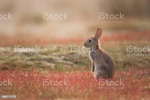 Rabbit oryctolagus cuniculus picture id898211276?b=1&k=6&m=898211276&s=612x612&h=71vwjsyu8lfd1zgl4nayrx7sbbck4bvzbbarfqmgnoy=