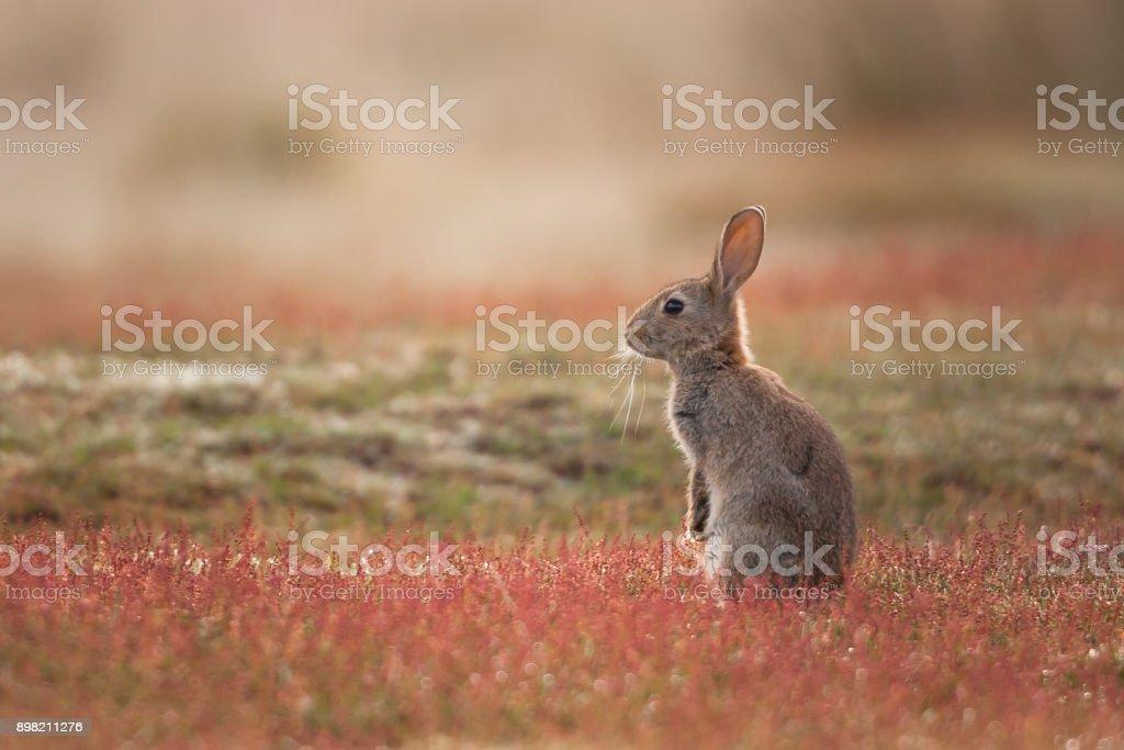 Rabbit (Oryctolagus cuniculus stock photo