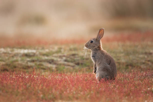 Rabbit (Oryctolagus cuniculus stock photo