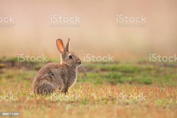 Rabbit oryctolagus cuniculus picture id898211288?b=1&k=6&m=898211288&s=612x612&h=vh78 gts6fv ev6ruazmjyv0cg k5qk84jb4v mfrlc=