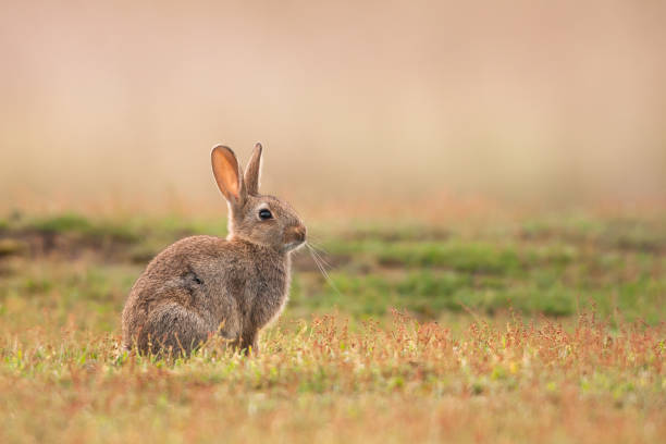rabbit (oryctolagus cuniculus - rabbit stock photos and pictures