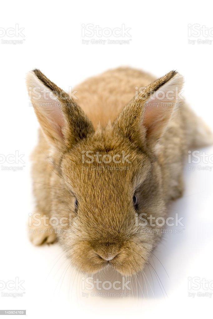 Rabbit royalty-free stock photo