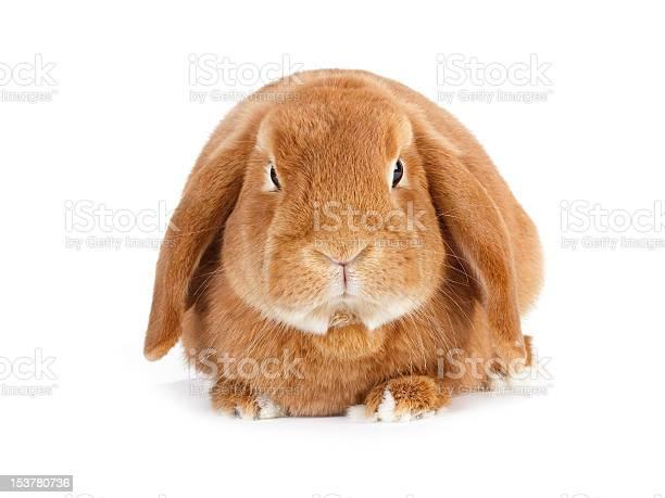 Rabbit picture id153780736?b=1&k=6&m=153780736&s=612x612&h=gde0deealeqfqlks3df9ntcl3jpywohmapoxdbeynuk=