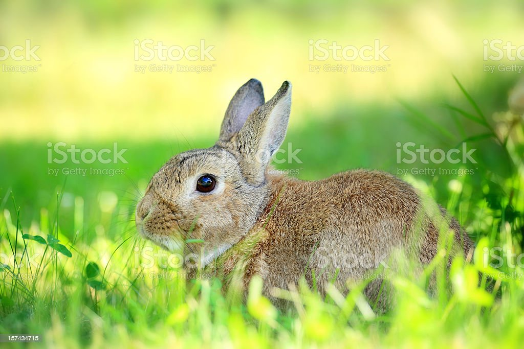 Rabbit - Royalty-free Alertness Stock Photo