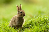 Baby Rabbit. Please, see my collection of animals images
