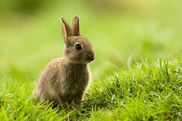 Rabbit (Oryctolagus cuniculus) stock photo