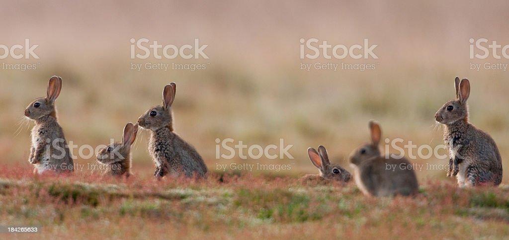 Rabbit (Oryctolagus cuniculus) stock photo
