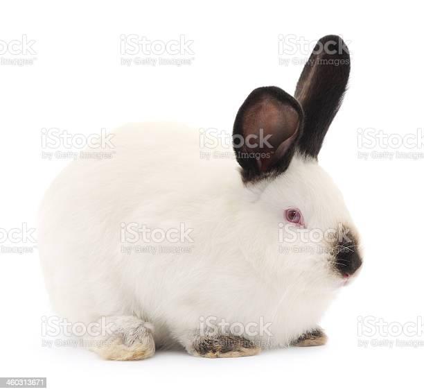 Rabbit picture id460313671?b=1&k=6&m=460313671&s=612x612&h=tlkgku3ofdue6dlfpbk 96nsldcngvovaassyp0mciu=