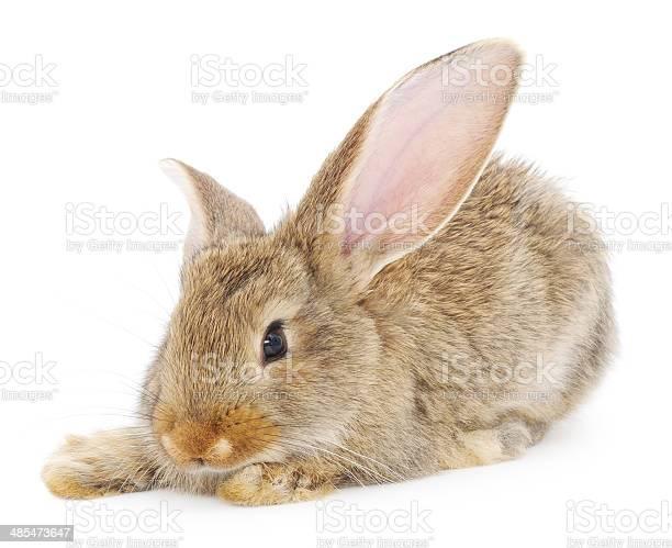 Rabbit picture id485473647?b=1&k=6&m=485473647&s=612x612&h=6zswi psvuv6bwjmfjlr1 sw kljyfz zlb5nkirs 4=