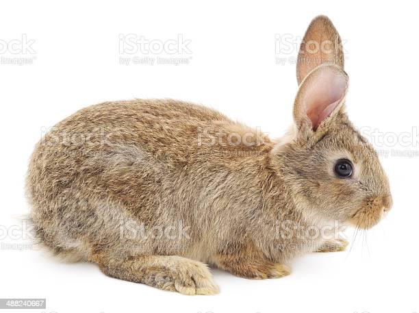Rabbit picture id488240667?b=1&k=6&m=488240667&s=612x612&h=ep6mg38utppsc9qyy3xkvjnxdolhblsh ayncwzzewm=