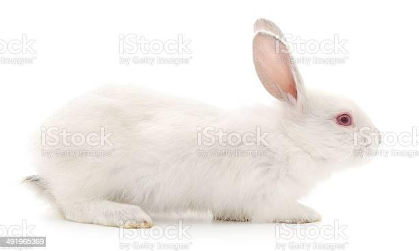 Rabbit picture id491965369?b=1&k=6&m=491965369&s=612x612&h=duargnxkfbymogptvsnr8qpiurgedwe0f5quzxtaick=
