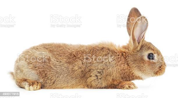 Rabbit picture id493377915?b=1&k=6&m=493377915&s=612x612&h=dcdkkjibgwlv u5e9w9nd8emgluiu8  ddlzyrv086e=