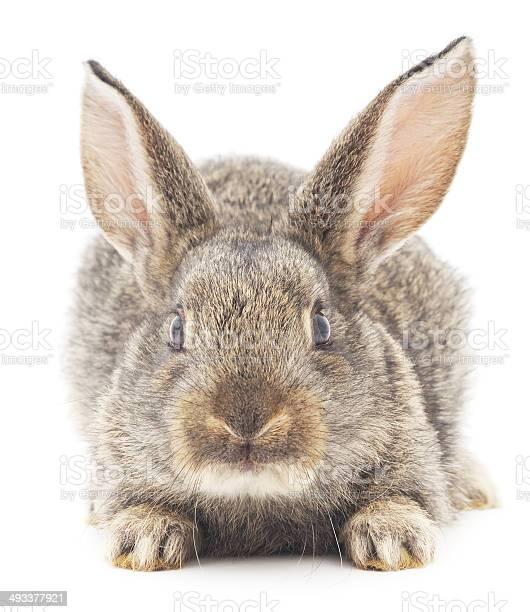 Rabbit picture id493377921?b=1&k=6&m=493377921&s=612x612&h=4uljauaf9ikkjacrxqary9gnb2pvcigbcig1bwjwfwg=