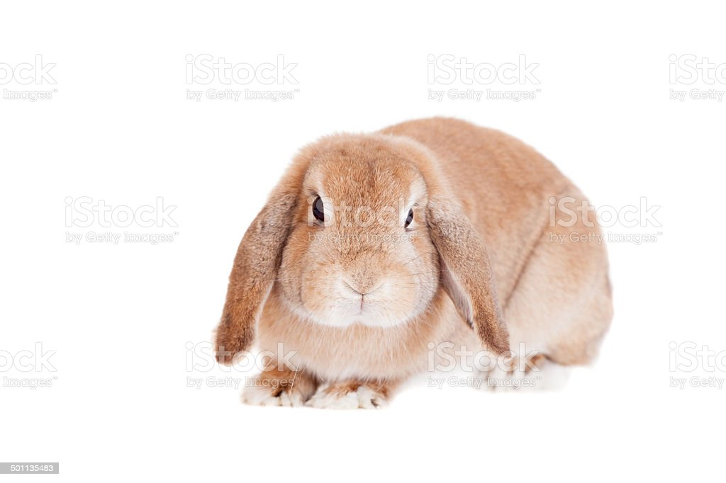 Rabbit Ram breed, red color stock photo