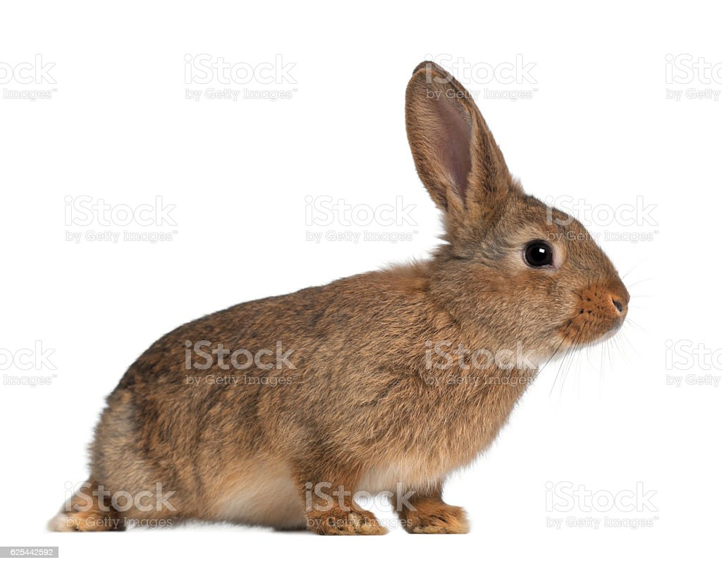 Rabbit sitting against white background stock photo