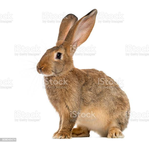 Rabbit sitting in front of a white background picture id509045474?b=1&k=6&m=509045474&s=612x612&h=k4kjm1cwstvlu5mxjvoainm6munzwm s4hfc8onupag=