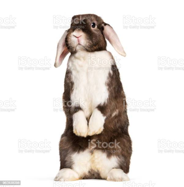 Rabbit sitting on hind legs against white background picture id962838098?b=1&k=6&m=962838098&s=612x612&h=bxi yfk56e7oke mmbeywni2nsizlsvkatvsf  h9ly=