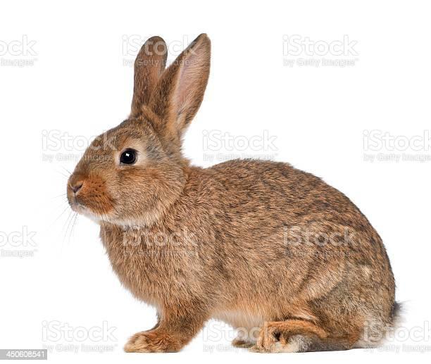 Rabbit sitting on white background picture id450608541?b=1&k=6&m=450608541&s=612x612&h=afz6wcw0fogyjrdvx8lbu5hcywztg8onqwlizbbomhm=