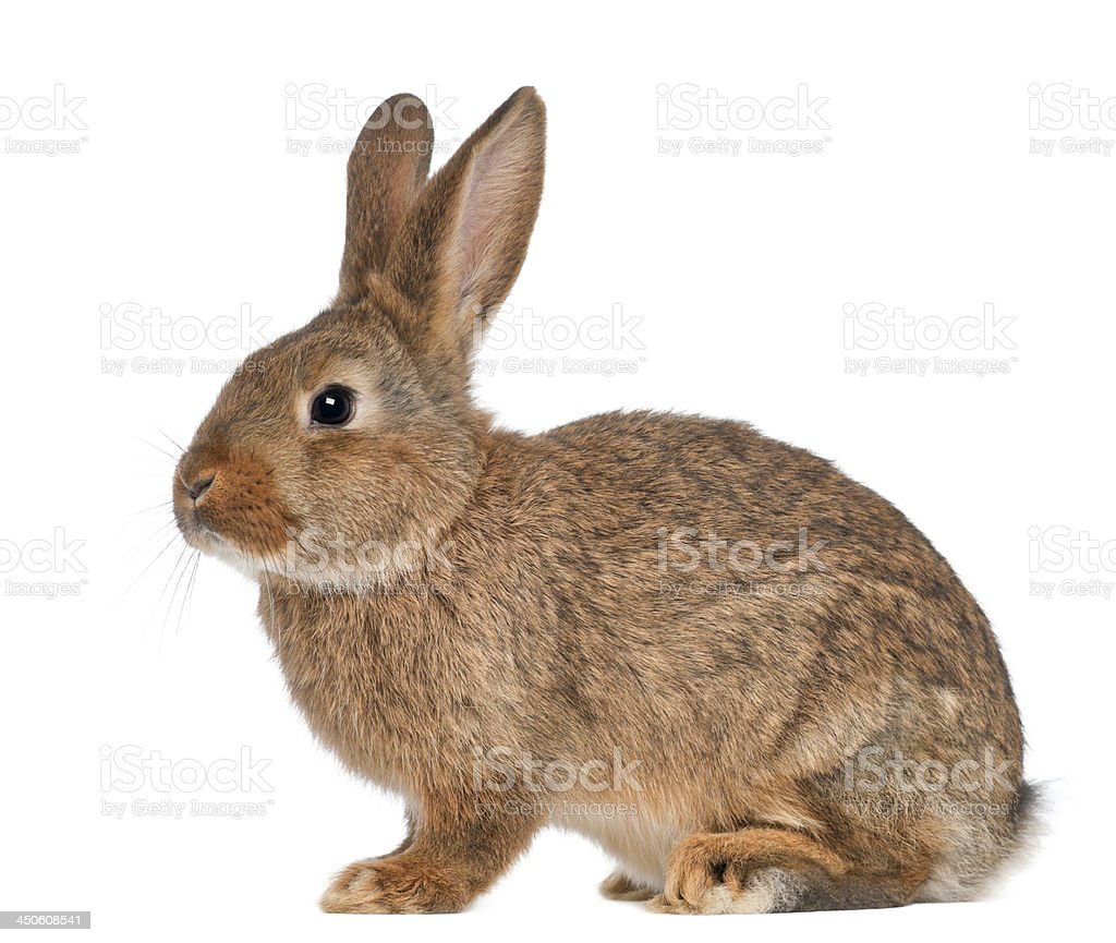 Rabbit sitting on white background stock photo