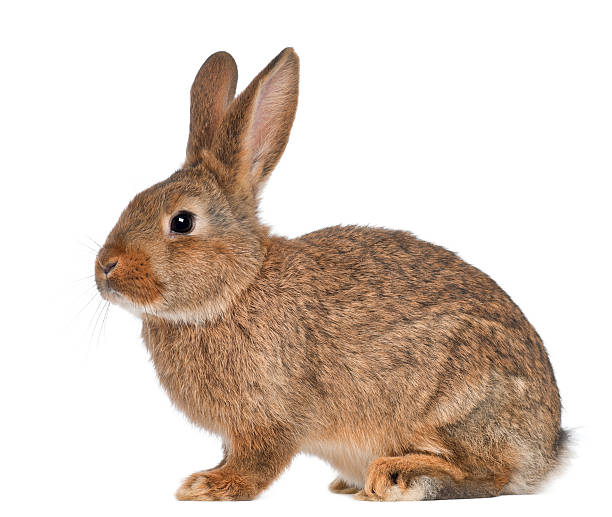 rabbit sitting on white background - rabbit stock photos and pictures