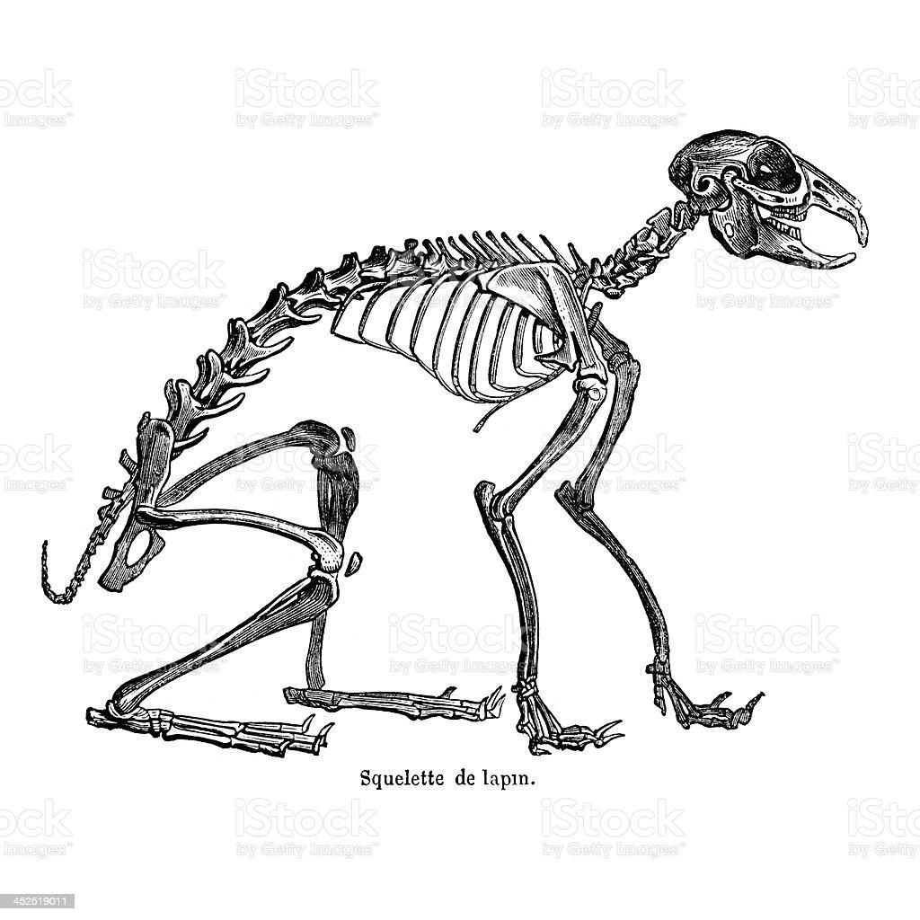 Ziemlich Kaninchen Skelettanatomie Zeitgenössisch - Menschliche ...