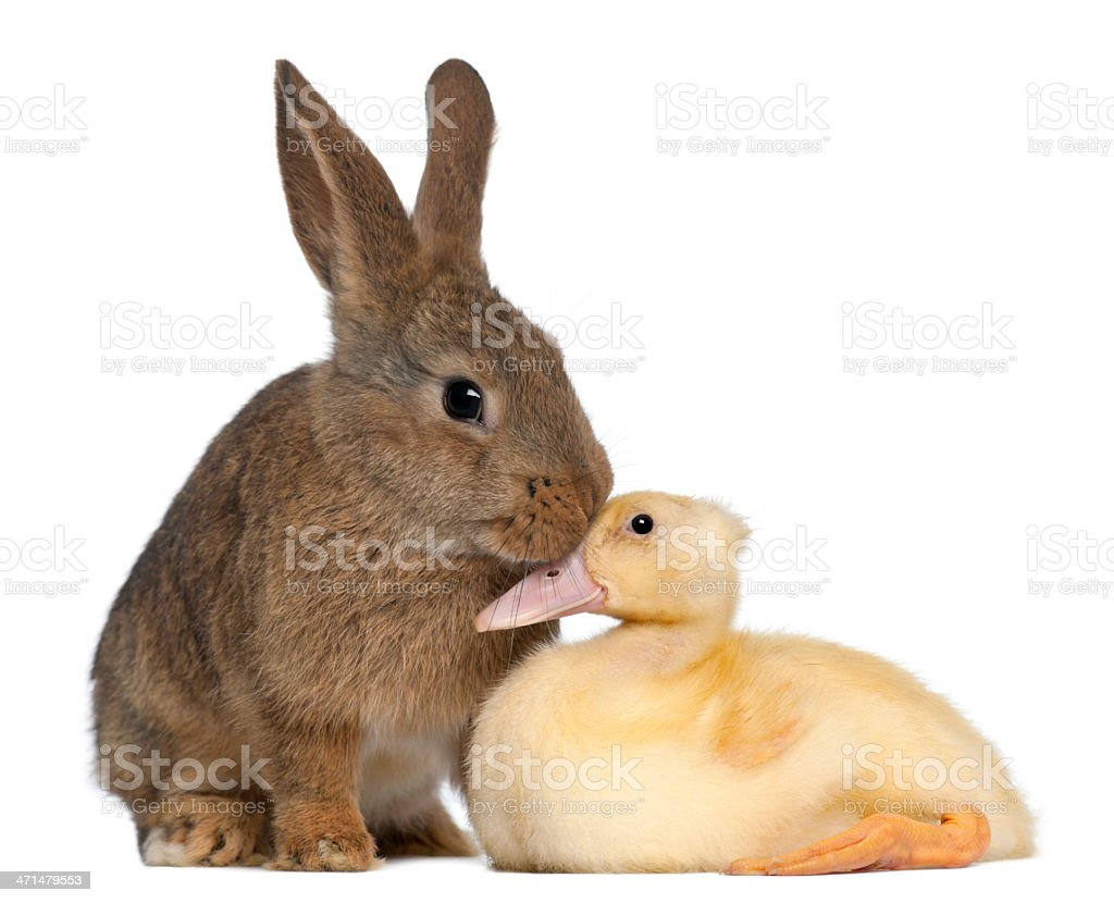 Rabbit sniffing duckling against white background stock photo