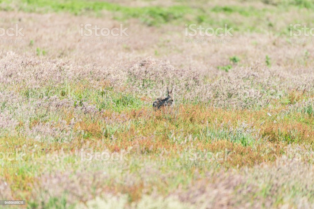 Rabbit standing on fields of Skomer Island Pembrokeshire West Wales UK stock photo