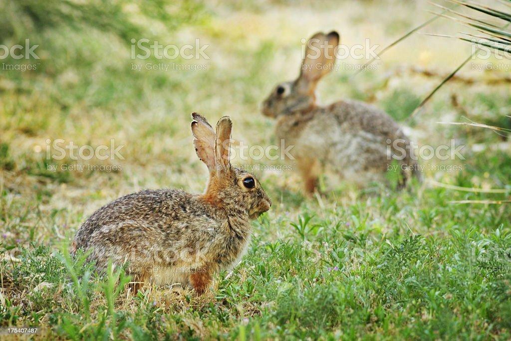 Rabbit Sylvilagus audubonii Eating stock photo