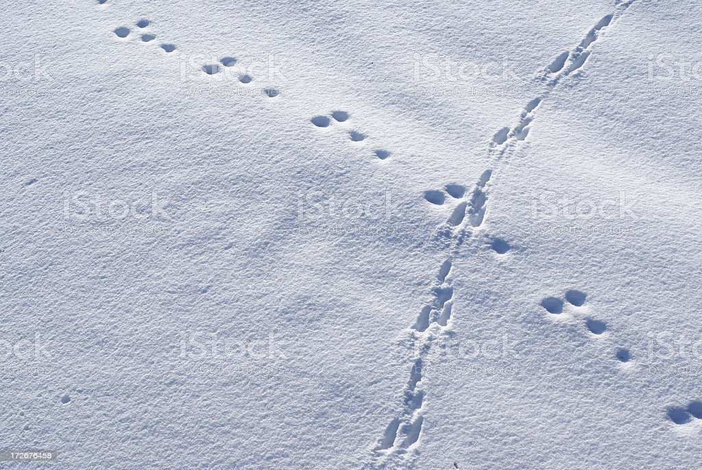Rabbit tracks on untouched snow stock photo
