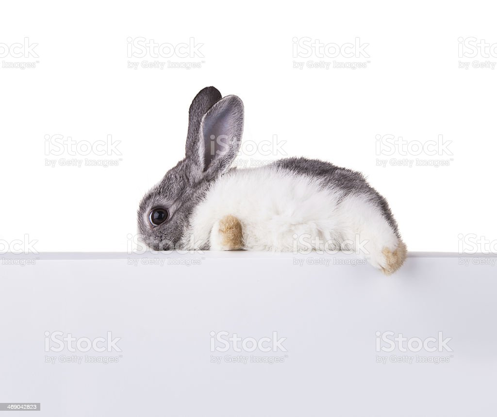 Rabbit with blank sheet on white background stock photo