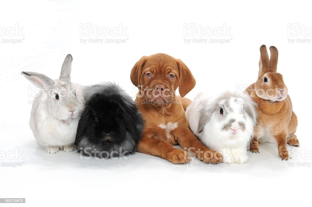 Rabbits and a puppy laying side by side on white background stock photo