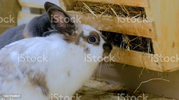 Rabbits eat hay in farm picture id1002260602?b=1&k=6&m=1002260602&s=612x612&h=rujsoqa87gtyxhfa vg 0rse4ciyrj 58xksaft83ie=