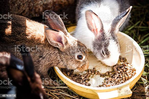 Rabbits eat picture id487809726?b=1&k=6&m=487809726&s=612x612&h=98aithiuwyypciybd1bzhubst ashdmoahcj1t4nalq=