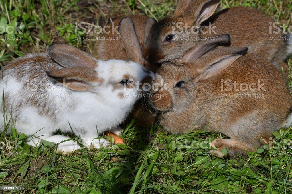 rabbits grazing the grass stock photo