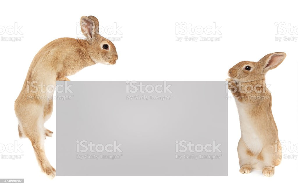 Rabbits holding a banner stock photo