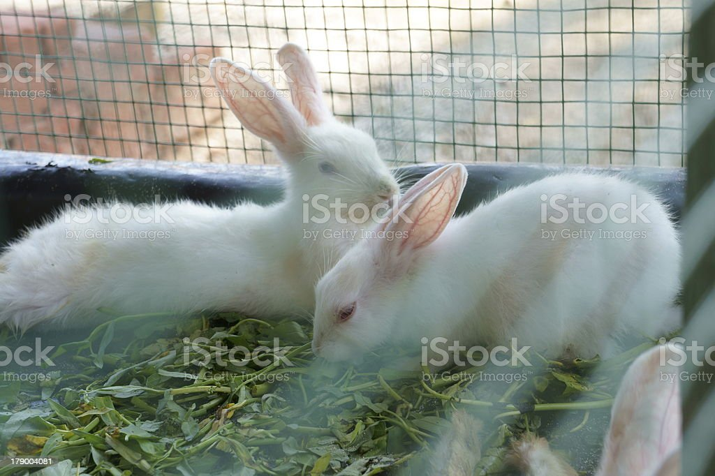 Rabbits in a cage royalty-free stock photo